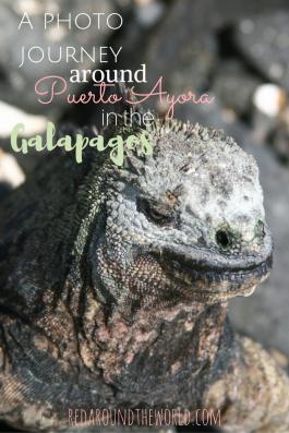 iguana-spotting