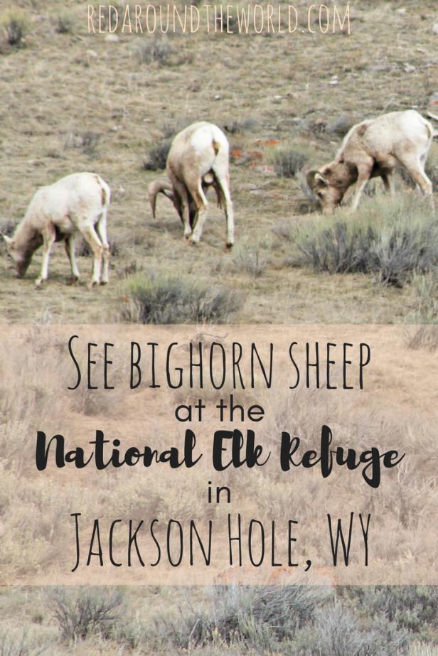 See bighorn sheep